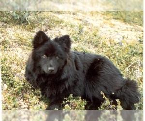 Image of Swedish Lapphund Breed