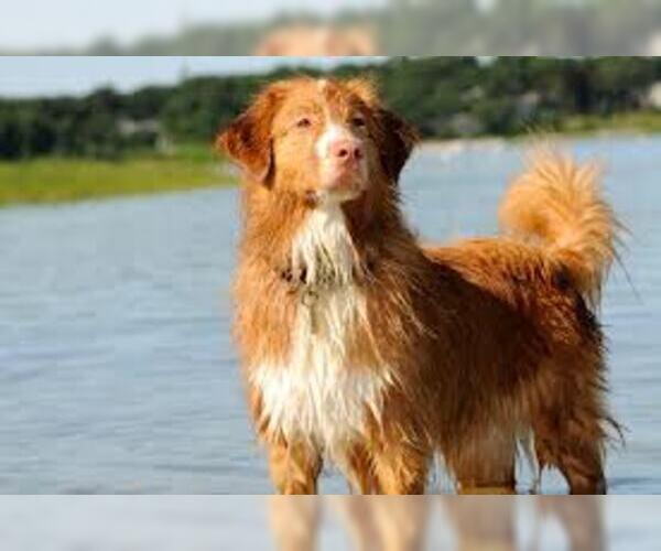 Medium Photo #2 Nova Scotia Duck Tolling Retriever Dog Breed