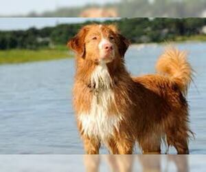 Small #1 Breed Nova Scotia Duck Tolling Retriever image