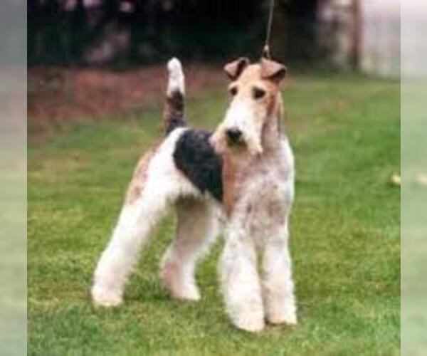Medium Photo #5 Wire Fox Terrier Dog Breed