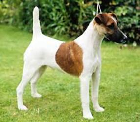 Small #7 Breed Fox Terrier (Smooth) image