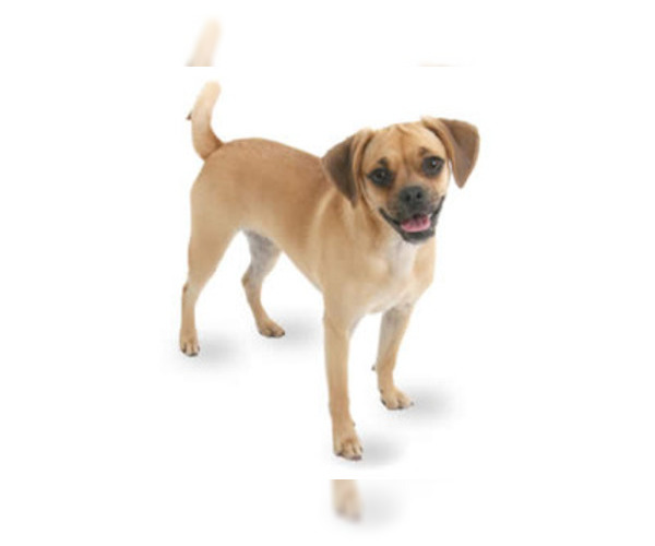Image of Puggle Breed