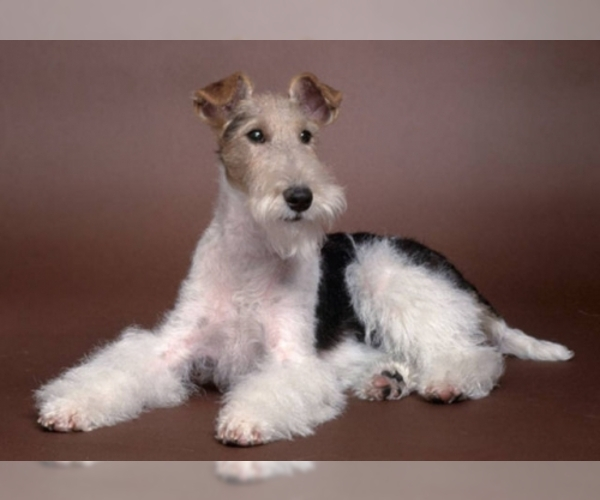 Image of Wire Fox Terrier Breed