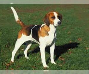 Small #7 Breed English Foxhound image