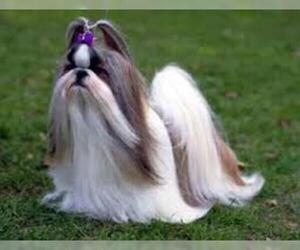 Small #3 Breed Shih Tzu image