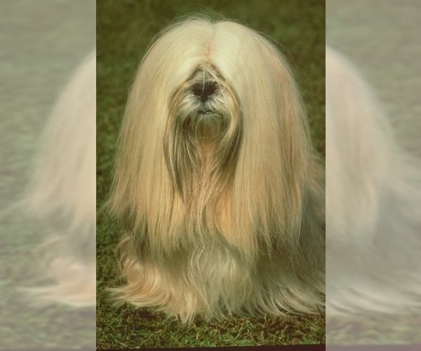 Image of Lhasa Apso Breed
