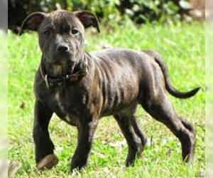 Small Photo #2 Staffordshire Bull Terrier Dog Breed