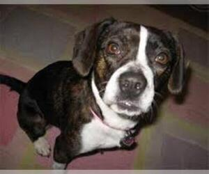 Small #2 Breed Boglen Terrier image