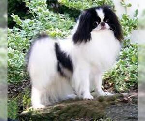 Small #7 Breed Japanese Chin image