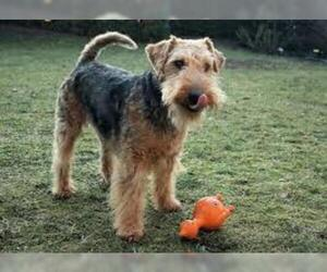 Small #5 Breed Welsh Terrier image