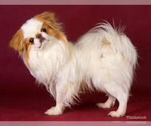 Small #6 Breed Japanese Chin image