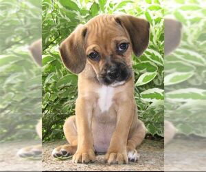 Small #2 Breed Puggle image