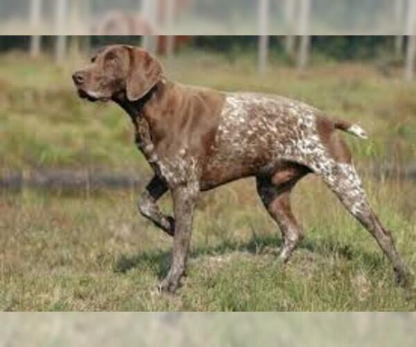 Medium Photo #2 German Wirehaired Pointer Dog Breed