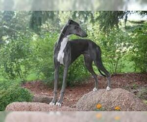 Small Photo #4 Greyhound Dog Breed
