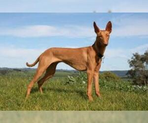 Small #2 Breed Pharaoh Hound image