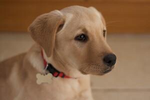 Small #1 Breed Golden Labrador image