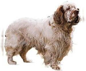 Small #5 Breed Clumber Spaniel image