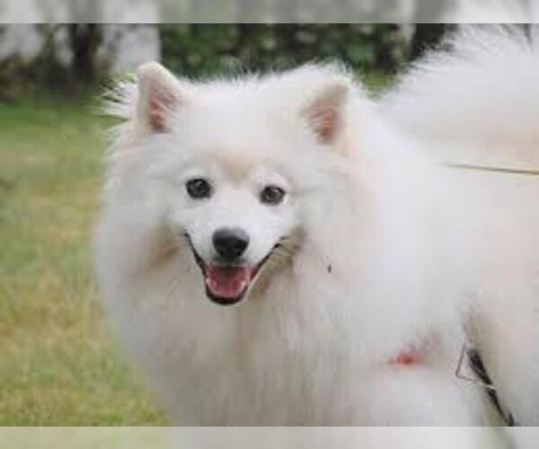 Image of Miniature American Eskimo Breed