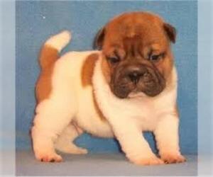 Small #4 Breed Pug-A-Pei image