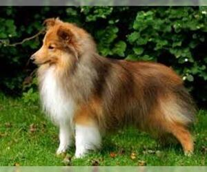 Shetland Sheepdog Breed Information And Pictures On
