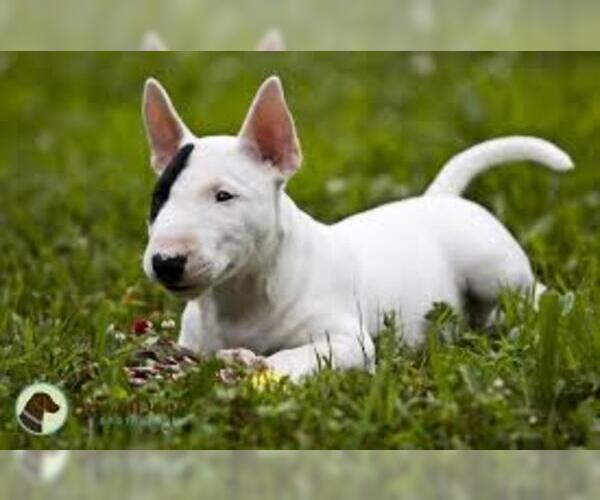 Medium Photo #4 Miniature Bull Terrier Dog Breed