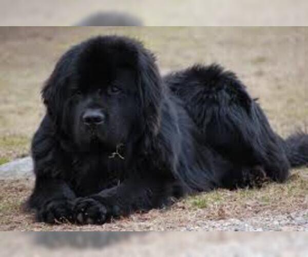Medium Photo #3 Newfoundland Dog Breed