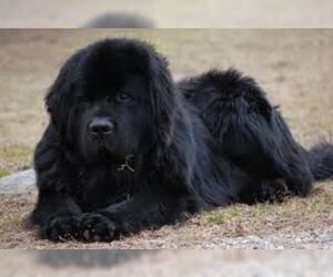 Small #2 Breed Newfoundland image