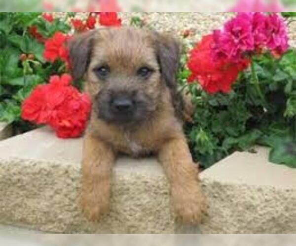 Medium Photo #7 Border Terrier Dog Breed