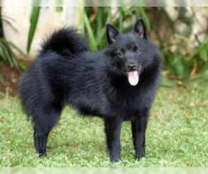 Small #6 Breed Schipperke image