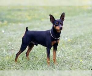 Small #3 Breed American Rat Pinscher image