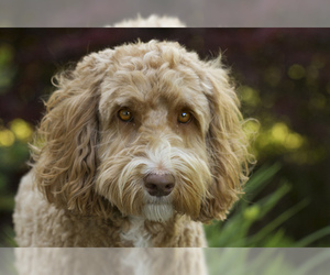 Small #1 Breed Labradoodle image