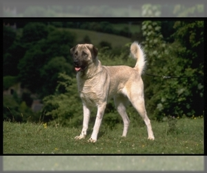 Image of Anatolian Shepherd breed