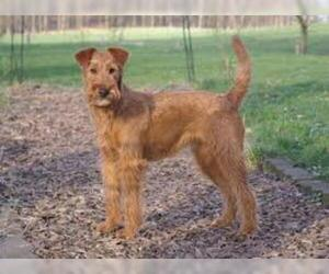 Small #5 Breed Irish Terrier image