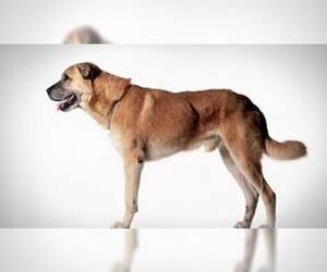 Small #6 Breed Anatolian Shepherd image