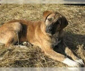 Small #7 Breed Anatolian Shepherd image