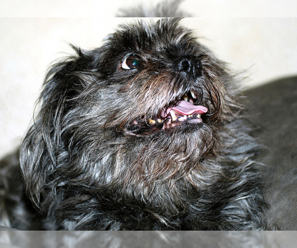 Affenpinscher Breed Information And Pictures On