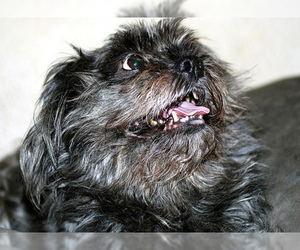 Small #12 Breed Affenpinscher image