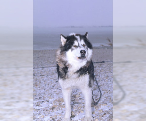 Image of Canadian Eskimo Dog Breed