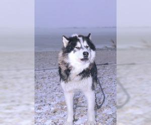 Image of Canadian Eskimo Dog breed