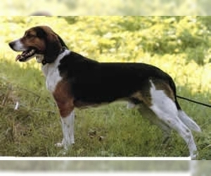 Image of Russian Harlequin Hound breed