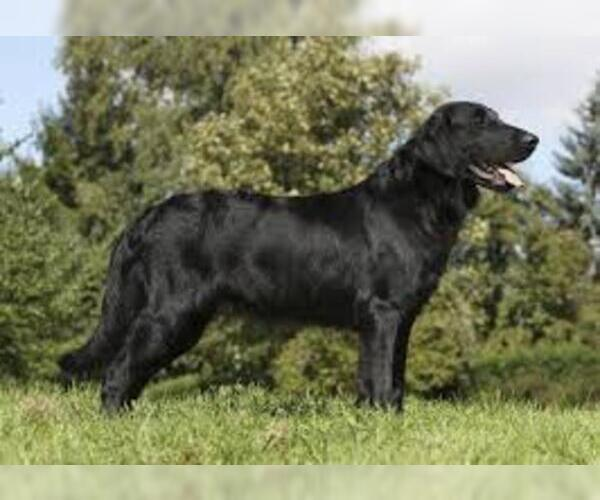 Full screen Photo #2 Flat Coated Retriever Dog Breed
