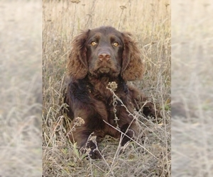 Image of Wachtelhund (German Spaniel) breed