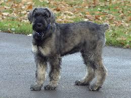 Medium Photo #2 Schnauzer (Giant) Dog Breed