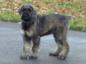Small #1 Breed Schnauzer (Giant) image
