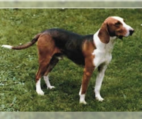 German Hound
