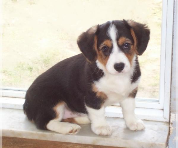 Cava-Corgi Dog For Adoption in Pasadena, CA