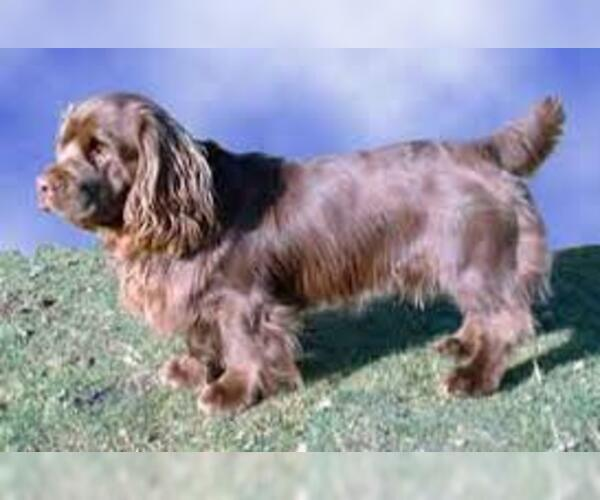 Full screen Photo #3 Sussex Spaniel Dog Breed