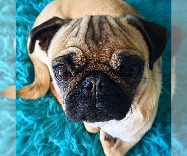 Medium Photo #3 Pug Dog Breed