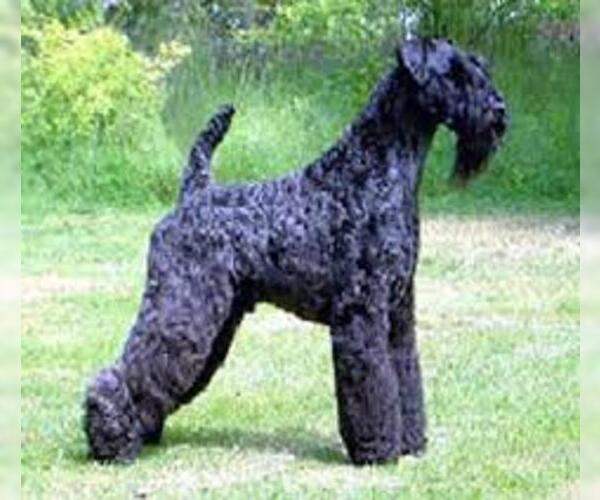 Medium Photo #6 Kerry Blue Terrier Dog Breed