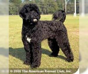 Small #3 Breed Portuguese Water Dog image